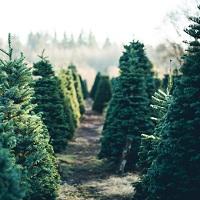 Гражданам могут разрешить самостоятельно заготавливать елки к новогодним праздникам