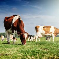 Предлагается ввести ограничение поголовья сельскохозяйственных животных в личном подсобном хозяйстве